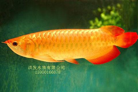 昆山红龙鱼